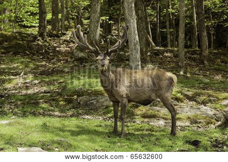Male Elk with horns in the woods