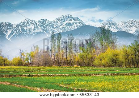 The Mustard Field With Himalaya Background