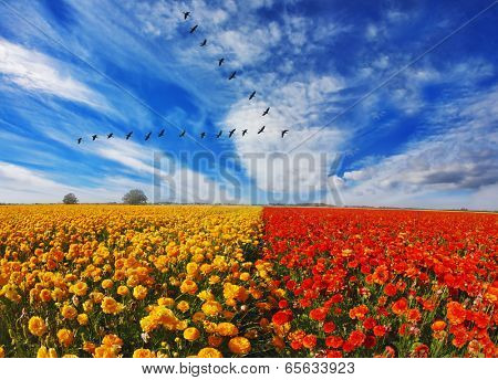 Flock of cranes flying over flowering field. Blooming red and yellow buttercups in spring in Israel