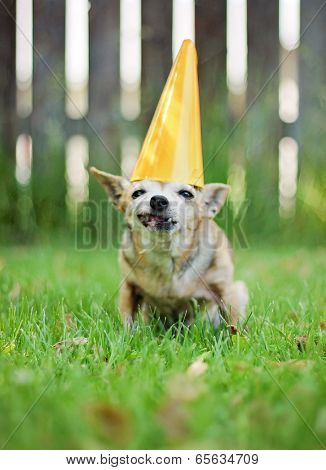 a chihuahua with a birthday hat on sitting in the grass