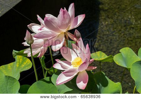 Beautiful Fragrant Pink Water Lily
