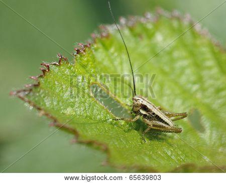 Roesel's Bush-cricket Nymph