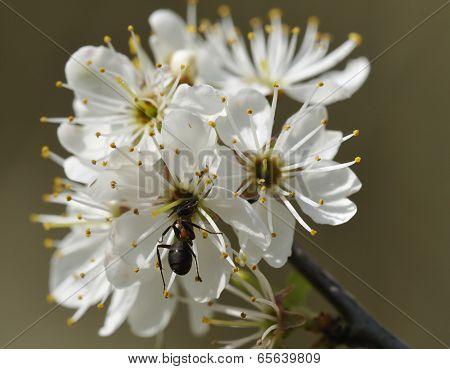 Wood Ant On Blackthorn Flower