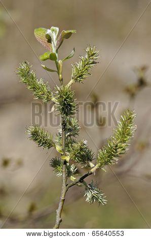 Goat Willow - Salix Caprea