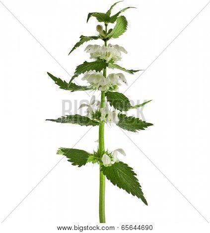 Nettle flowering  isolated on white background