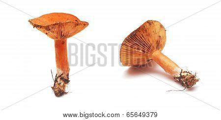 Lactarius Deliciosus Mushroom