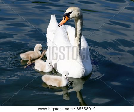 White Swan Cygnets With Mother Sweeming In The Water