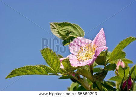 Flowering Brier