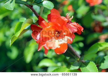 Quince Flowers