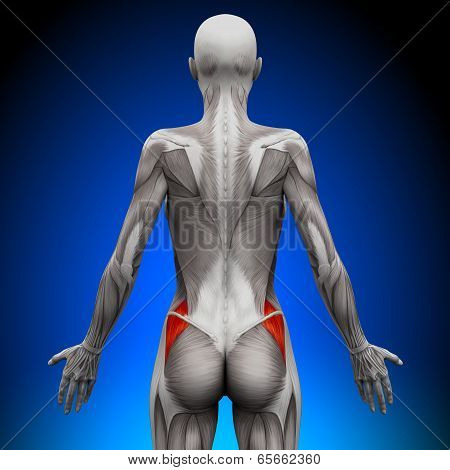 Glutes Medius - Female Anatomy Muscles