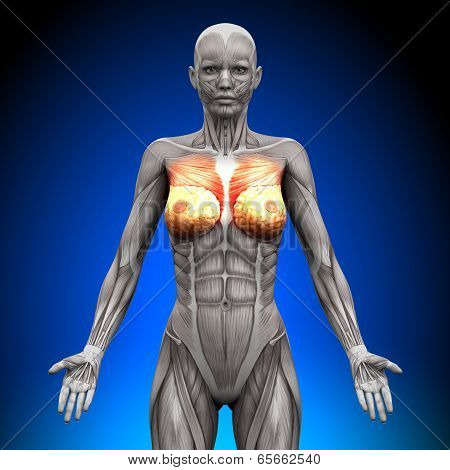 Breasts / Chest / Pectoralis Major / Pectoralis Minor - Female Anatomy Muscles