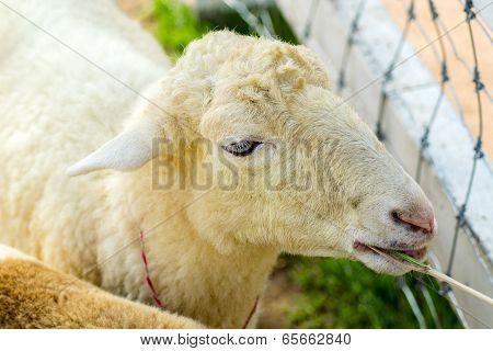 Goat Head.