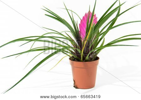 Bromelia plant in pot