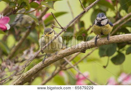 Blue Tit Fledgling And Parent In A Bush