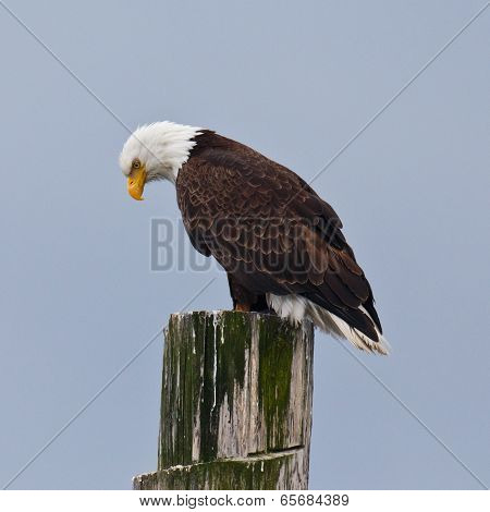 Downward Looking Eagle