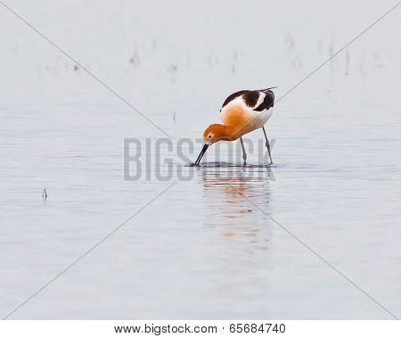 Wading Avocet