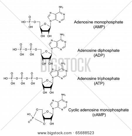 Structural Chemical Formulas Of Adenosine Phosphates