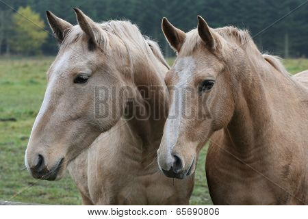 Two brown horses
