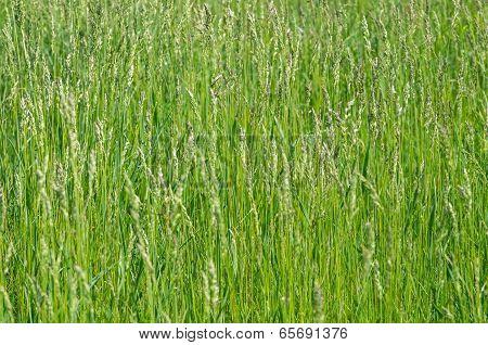 Sorghum Weed