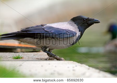 Hooded Crow Near The Lake