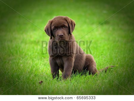 Cute chocolate labrador retriver puppy