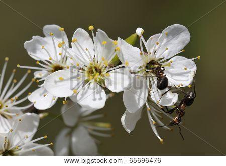 Wood Ants On Blackthorn Flower
