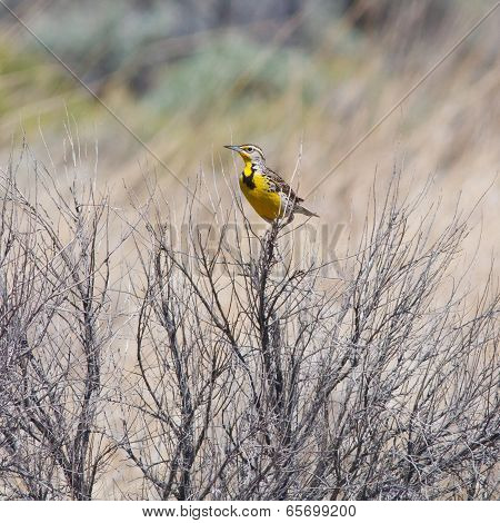 Male Meadowlark