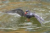 stock photo of tern  - Inca tern diving in its natural habitat