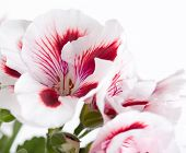 picture of geranium  - Flowers two - JPG