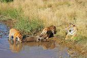 foto of tigress  - A tigress watches on while her cubs tackle their well - JPG