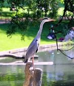 pic of peahen  - Heron bird in the city  Park  - JPG