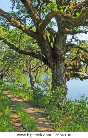 Lakeside Trail Under Oak Tree