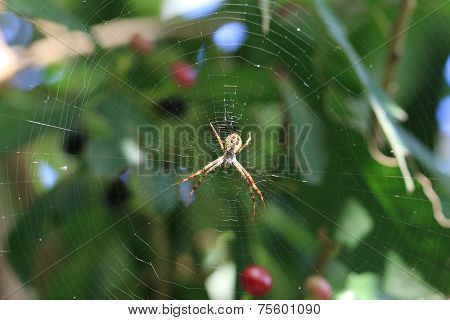 Spider and spiderweb