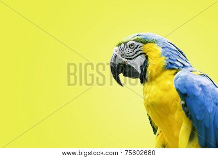 Blue and Yellow Macaw on yellow background