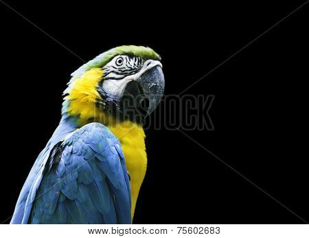 Blue and Yellow Macaw on black background
