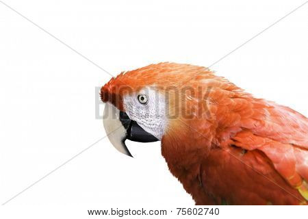 Red Macaw on white background