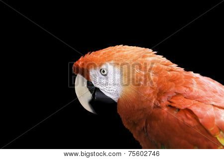 Red Macaw on black background