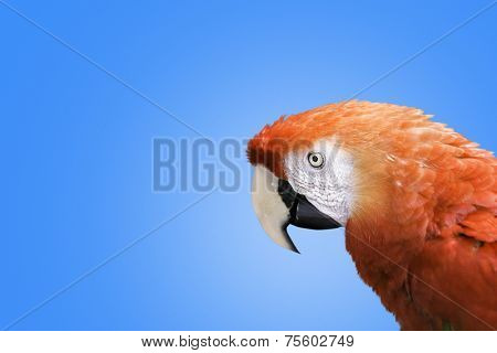 Red Macaw on blue background
