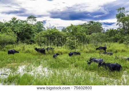 Buffalos in Pantanal, Brazil