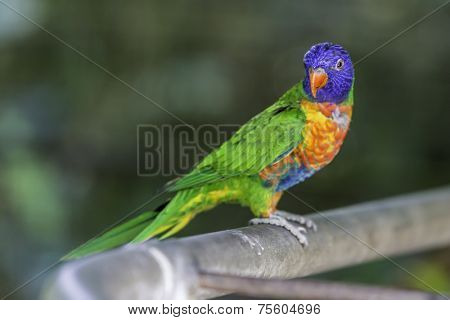 Australian rainbow lorikeets.