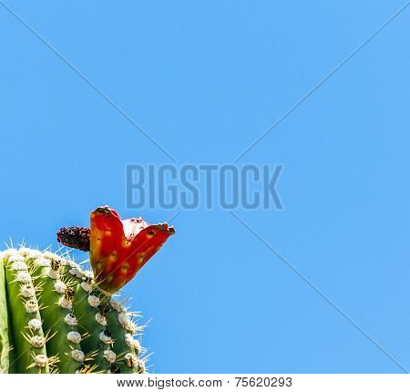 Blooming Cactus In Detail In The Desert With Blue Sky