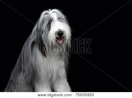 Bearded collie on black