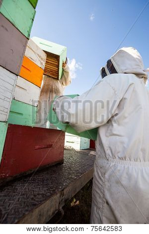 Beekeepers in protective clothing unloading honeycomb crates together from truck