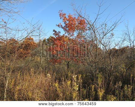 Red Oak Tree in Fall at Forest Preserve