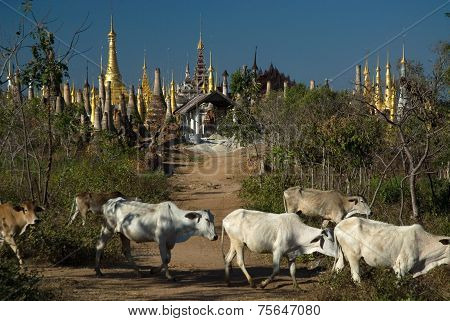 Cows Around The Stupas Of Inn Taing Temple Near Inle Lake In Myanmar.