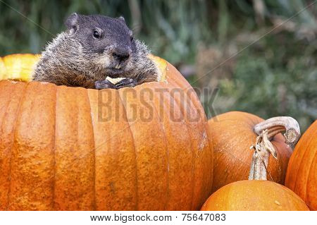 Groundhog in Jack-O-Lantern