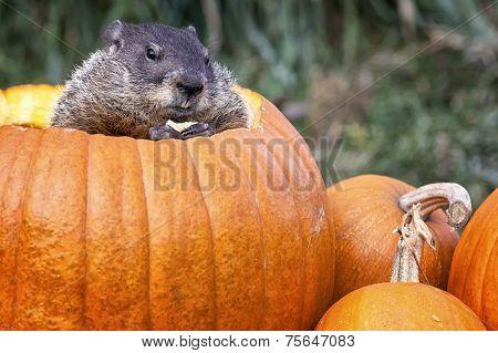 Groundhog in Jack-O-Lantern