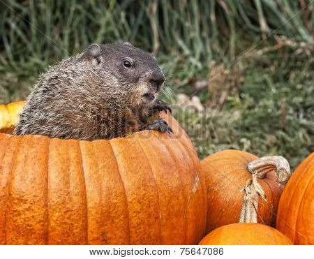 Woodchuck and pumpkins