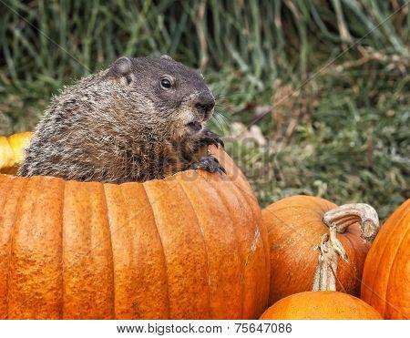 Woodchuck and pumpkins