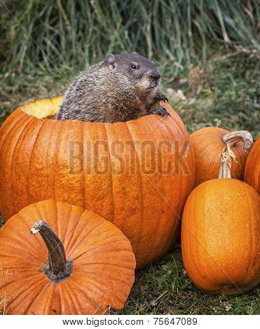 Woodchuck in a pumpkin